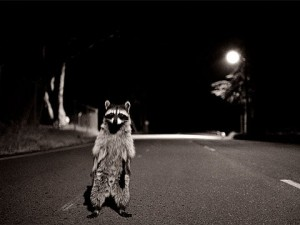 Raccoon in the road