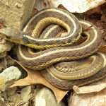 Thamnophis_sirtalis_sirtalis_Wooster